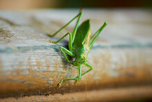 Green Grasshopper On The Wood ...