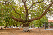 An Old And Huge Plane Tree With Extreme Big Branches In A Middle Of A Park With Picnic Tables In A Small Village. Begin Of Autumn And Leaves Are Falling.