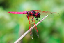 Red Dragonfly On Dry Branch, Red Big Eyed Dragonfly On Leaf, Red Dragonfly Macro On Leaf.
