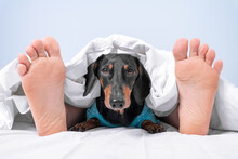 Owner And Pet Sleep Together In Bed At Home Or In Room Of Dog-friendly Hotel. Human Feet Stick Out From Under Blanket And Head Of Dachshund Peeks Out From Under The Cover Between Them