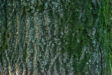 Real Thick Tree Bark Covered With Moss And Fungi, Tree Texture,  Bark Of Tree, Rough Surface Pattern, Background, Shallow Depth Of Field.