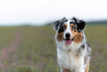 Dog Australian Shepherd Blue M...