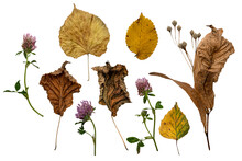 Set Of Autumn Forest Nature Gifts. Dry And Yellow Lindel Leaves And Seed Pods, Clover Flowers. Isolated On White Background.