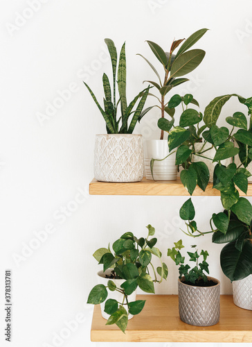 Stylish green houseplants on wooden shelves. Modern room decor. Canvas Print