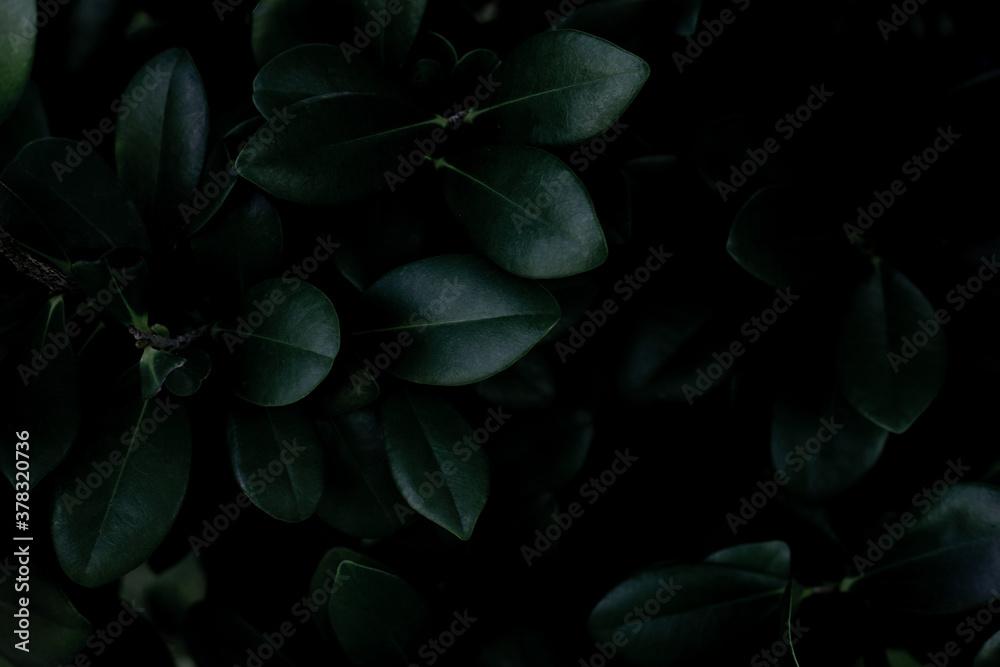 Fototapeta closeup nature view of green leaf texture, dark wallpaper concept, nature background, tropical leaf