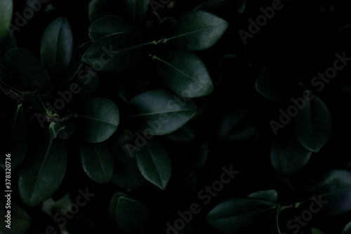 closeup nature view of green leaf texture, dark wallpaper concept, nature background, tropical leaf #378320736