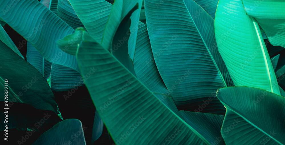 Fototapeta tropical banana leaf texture, abstract green banana leaf, large palm foliage nature dark green background