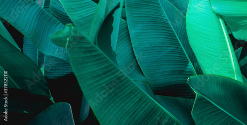 tropical banana leaf texture, abstract green banana leaf, large palm foliage nature dark green background #378322110
