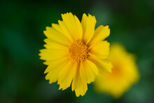Yellow Flower With Yellow Center.  Yellow Coreopsis With Selective Focus And Bokeh.  Tickseed