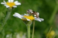 Pale Shoulder (Acontia Lucida) On A Flower