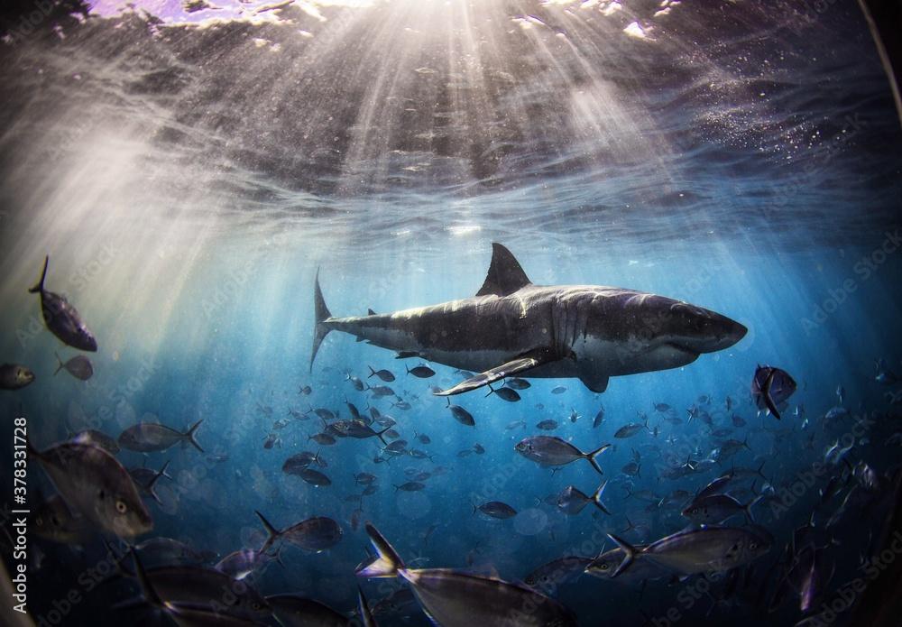 Fototapeta A shark in Australia.