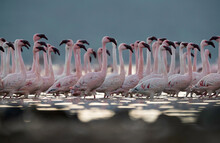 Lesser Flamingos Marching On O...