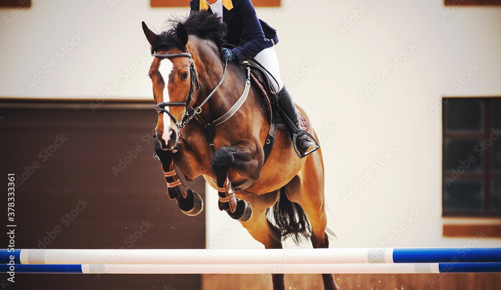 Fototapeta A beautiful bay racehorse with a rider in the saddle quickly jumps the high blue barrier in a show jumping competition. Horseback riding.