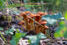 Poisonous Mushrooms, Omphalotus Illudens. Dangerous Mushrooms,A Cluster Of Orange Mushrooms ,Italy.