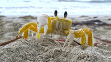 Closeup Of A Golden Ghost Crab In The Sand Of The Beach With A Blurred Background