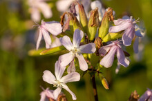 Close-up Of The Common Soapwort (Saponaria Officinalis)  Flowers