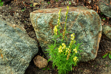 Beautiful Flowers With Yellow Petals Grow Among The Stones.