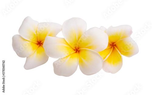 Fototapeta plumeria flower isolated obraz