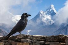 Black Raven In Himalayas Posin...