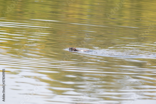 Photo Rat is swimming leisurely on the water surface