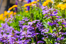 Purple And Yellow Scaevola Flower Also Called Fan Flower In The Garden Surrounded By Lush Green Leaves And Yellow Sunflowers At Little Corona Beach In California