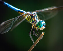 Close Up Of A Blue Dasher Alon...