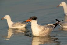 Caspian Tern Swimming At Busiateen Coast, Bahrain