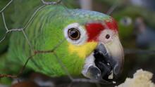 Loro Amazonica De Frente Roja