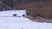 Turkey And Whitetail Deer On A...