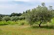 Olivenbäume (Olea europaea)