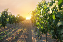 Beautiful View Of Vineyard Wit...