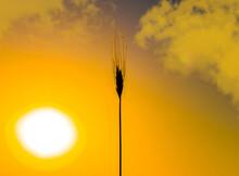 Thin Spike Plant On Sunset Bac...