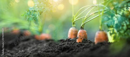 Tela Fresh Carrots Growing in Soil, Closeup