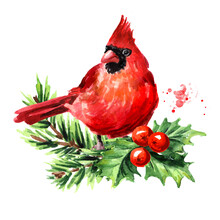 Red Bird Cardinal On The Fir  Branch And Holly Berries, Symbol Of Christmas, Watercolor Hand Drawn Illustration Isolated On White Background