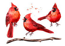 Red Birds Cardinal And Branch Set. Watercolor Hand Drawn Illustration, Isolated On White Background