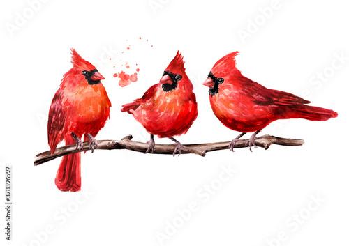Red birds Cardinal on the branch Fototapeta