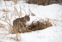 Bobcat (Lynx Rufus) Crouches Behind Clump Of Weeds Winter
