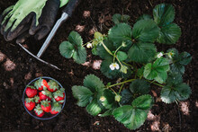 Strawberries In Bowl With Gardening Equipment By Plants On Land