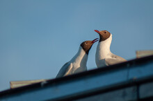 Closeup Low Angle Shot Of Laughing Seagulls