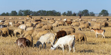 A Herd Of Goats And Sheep. Ani...