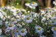 canvas print picture - Aster ericoides white heath asters flowering plants, beautiful autumnal flowers in bloom