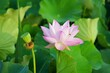 Beautiful lotus flower with green petals in the water