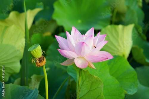 Fotografia Beautiful lotus flower with green petals in the water