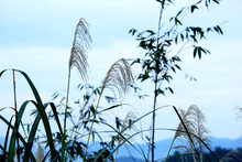 Japanese Silvergrass In The Field