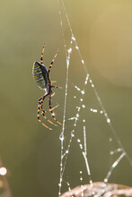 Argiope Trifasciata (the Banded Garden Spider Or Banded Orb Weaving Spider)