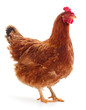 canvas print picture - Brown hen isolated.