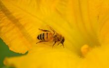 Honey Bee Heading Down Into A ...