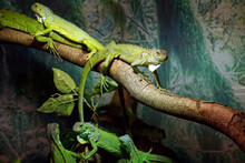 Green Lizards Lie On Branches