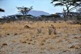 Fototapeta Sawanna - Dwie lwice. Wieczór w rezerwacie Buffalo Springs (Kenia)