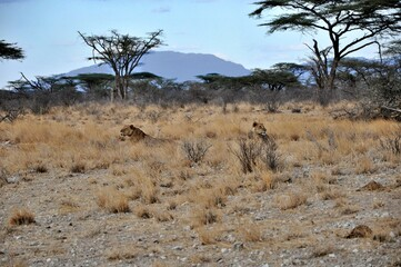 Dwie lwice. Wieczór w rezerwacie Buffalo Springs (Kenia)